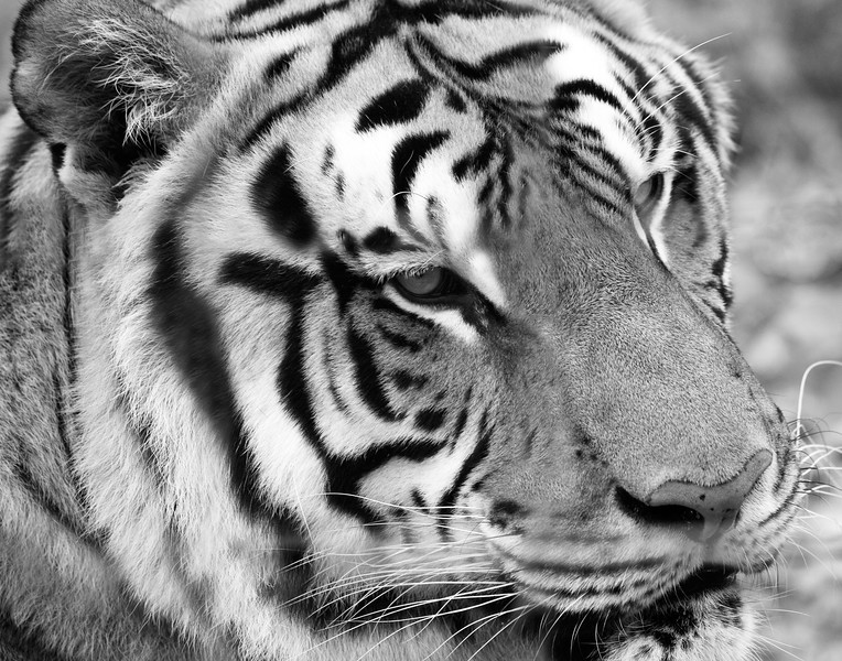 Bengal Tiger in Black and White JN028067