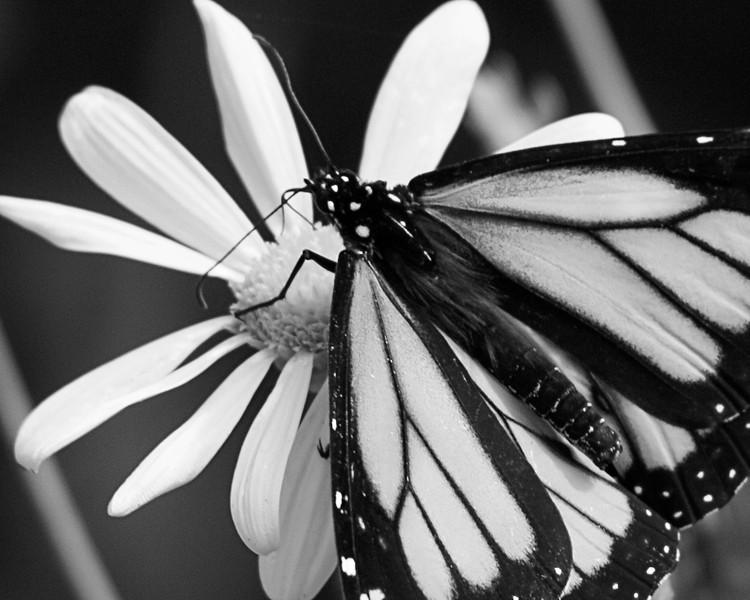 Monarch Butterfly, Danaus plexippus<br /> Danaidae family (Milkweed butterflies)