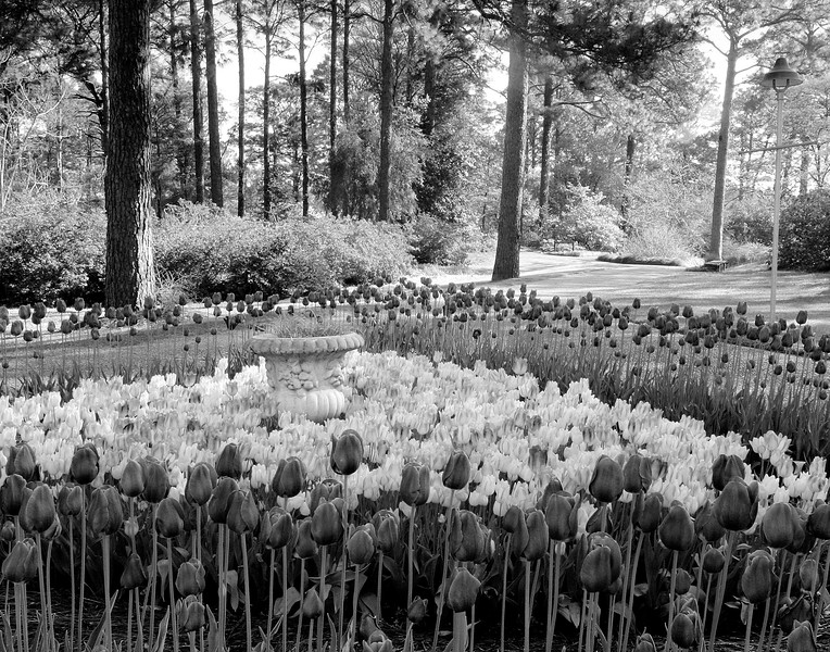Tulips in Hodges Gardens at Many, Louisiana