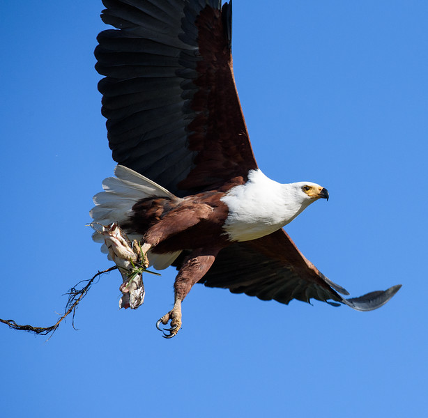 African Fish Eagle with Lunch