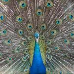 Peacock Symmetry