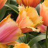 Fringed Tulip, Tulipa fringed 'LAMBADA', at Keukenhof Gardens in South Holland in The Netherlands.