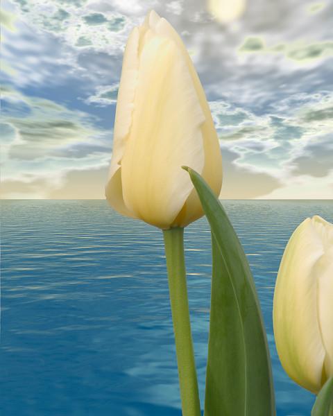 Tulip in Victoria Harbor, Victoria, British Columbia, Canada. This is a composite image, created from three images.