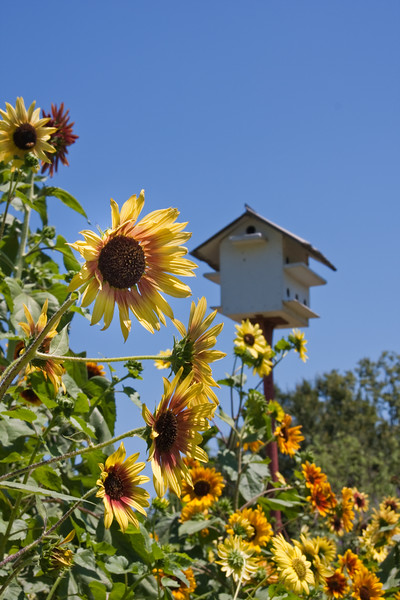 Sunflowers with Bird House in a 4 acre daylily garden in Alvin, Texas.
