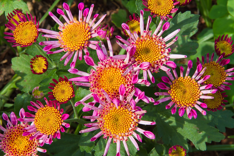 Chrysanthemum hybrids at Mercer Arboretum and Botanical Gardens in Spring, Texas.