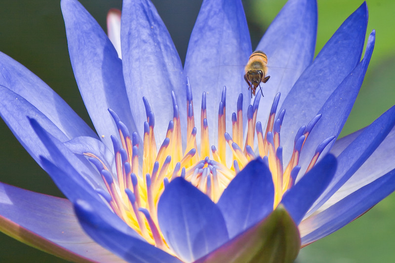 Waterlily and Bee at Mercer Arboretum and Botanical Gardens in Spring, Texas.