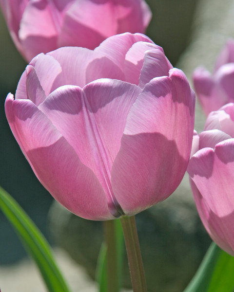 Backlit Tulip at Butchart Gardens, Victoria, British Columbia, Canada.