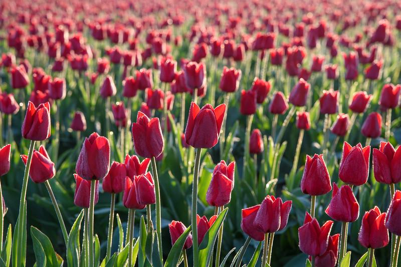 Dewey Tulips