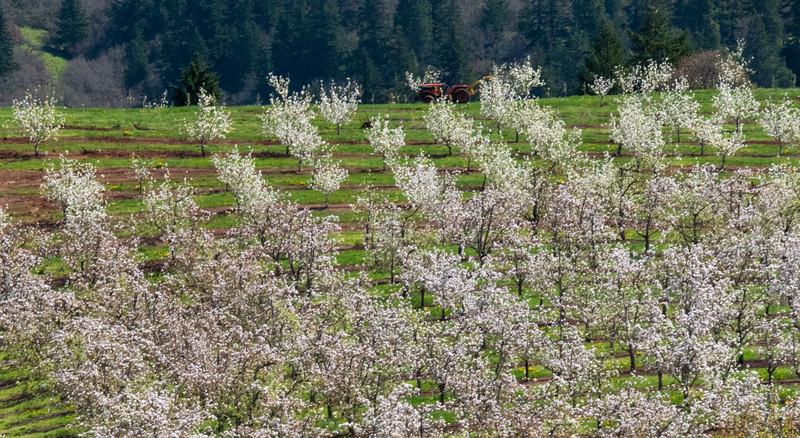 Hillside of Fruit Trees