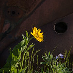 Balsamroot and Rust