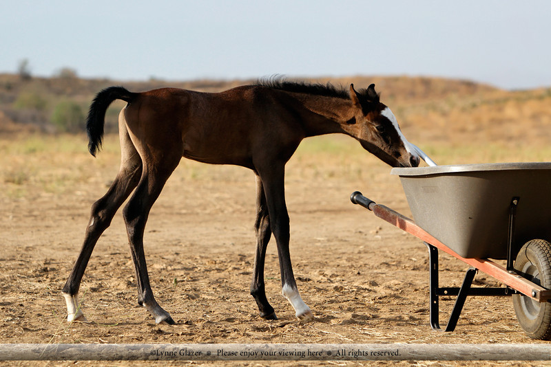 All foals are fascinated with poop-removal devices.