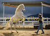 Lipizzan-Arab Twix at 3 1/2, feeling her oats.  Cristy Cumberworth photo, Jan '08.