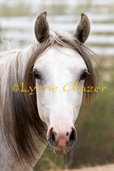 """Rainy day yearling Twix.  That Iberian forehead and jowel tapering to the Arabian muzzle...and the Iberian black """"eyeliner"""".  Irresistable."""