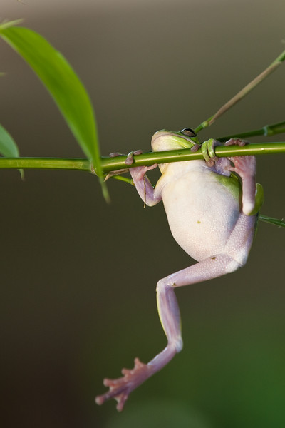 American Green Treefrog, hyla cinerea, at Gary Carter's in McLeansville, NC.