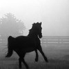 Black and White of Horse in the Mist near Magnolia, Texas.