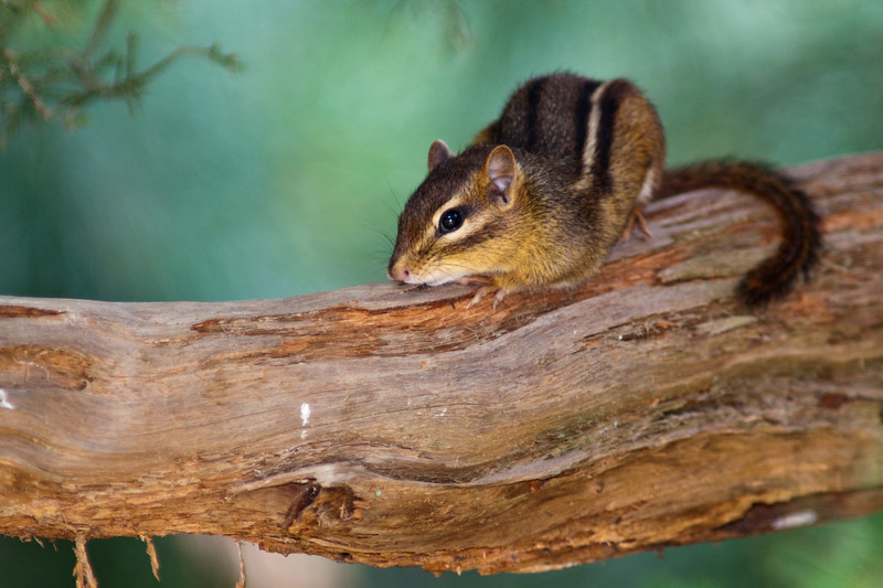 Eastern Chipmunk, Tamias striatus, in Mcleansville, NC.