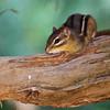 Eastern Chipmunk, Tamias striatus, in Mcleansville, NC.