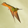 Chestnut-breasted Coronet hummingbird, Boissonneaua matthewsii, at Guango Lodge in Ecuador.