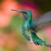 White-necked Jacobin female hummingbird, Florisuga mellivora, at Septimo Paraiso in Ecuador