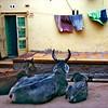 Cows, Jaiselmer, Rajhasthan, India