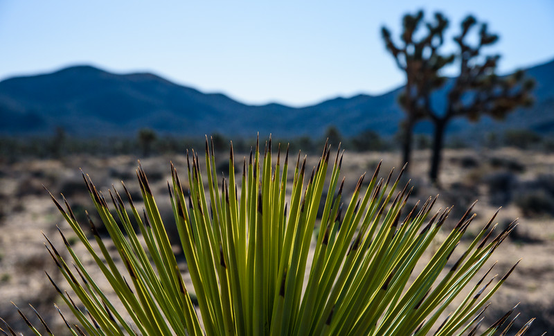 Joshua Tree Spikes