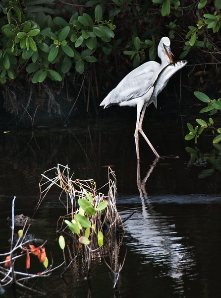 Naples, Florida, great white egret trying to get fish unstuck from beak