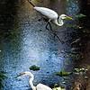 Great white egrets, Corkscrew Swamp Sanctuary, near Immokalee