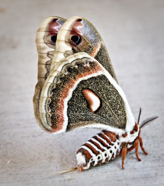 Minnesota Forestry Center, cecropia moth