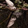 Snowy egret, Shark Valley, Everglades National Park