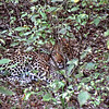 Botswana, well-camouflaged leopard