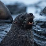 Fur Seal, Mikkelsen Harbor