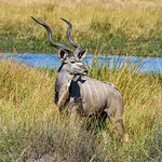Male Kudu Antelope