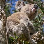 Koala Instagram Pose