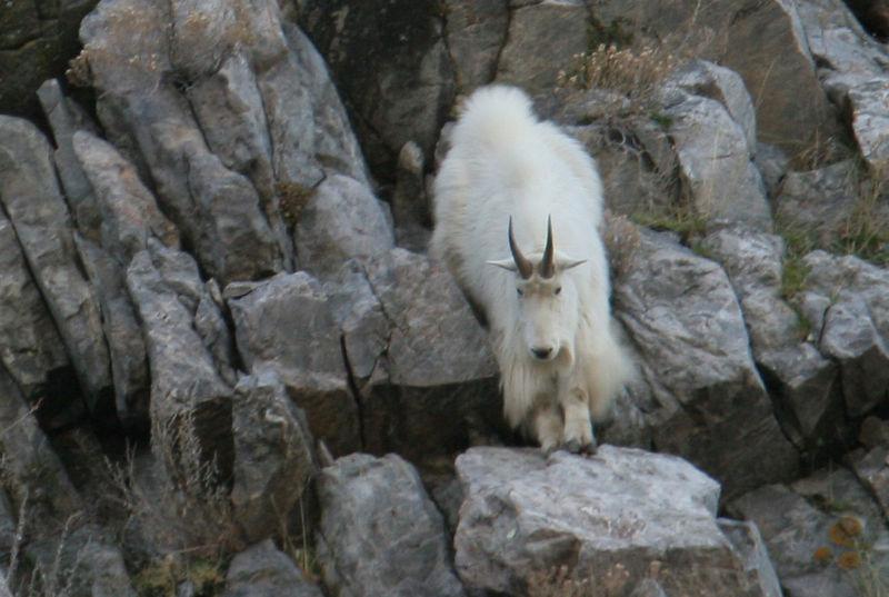 IMG_5984 mntn goat horns on cliff