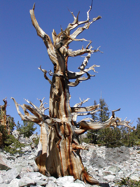 Bristlecone Pine, Great Basin National Park, Nevada