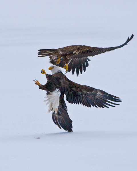 Eagles On Ice Fighting  8x10 copy