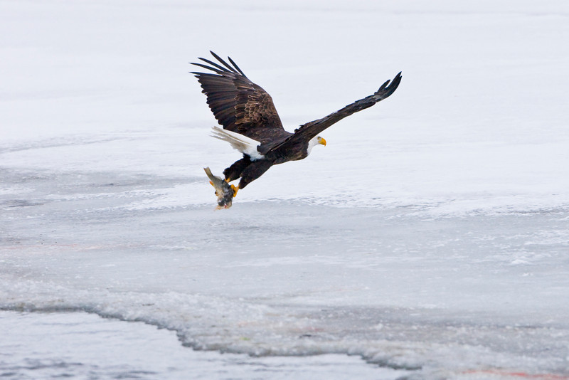 Eagle and  fish over ice