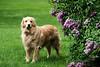 Beau, our golden retriever