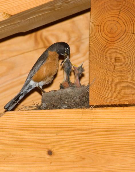 Robin feeding hatch 1