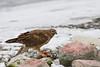 Hawk Eats Bird