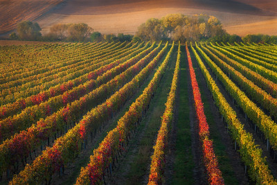 Moravian wineyards