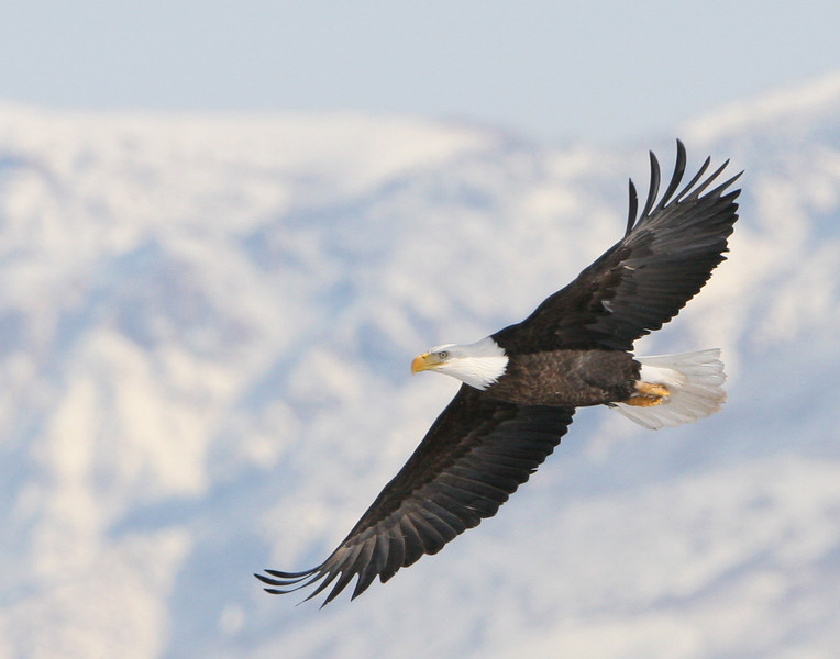 Eagle Flying With Mountain Backdrop