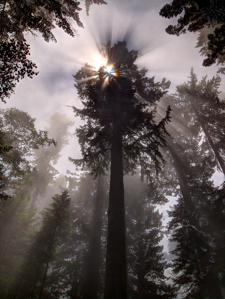 Sun through low lying clouds<br /> Lady Bird Johnson Grove, Redwood National Park, California