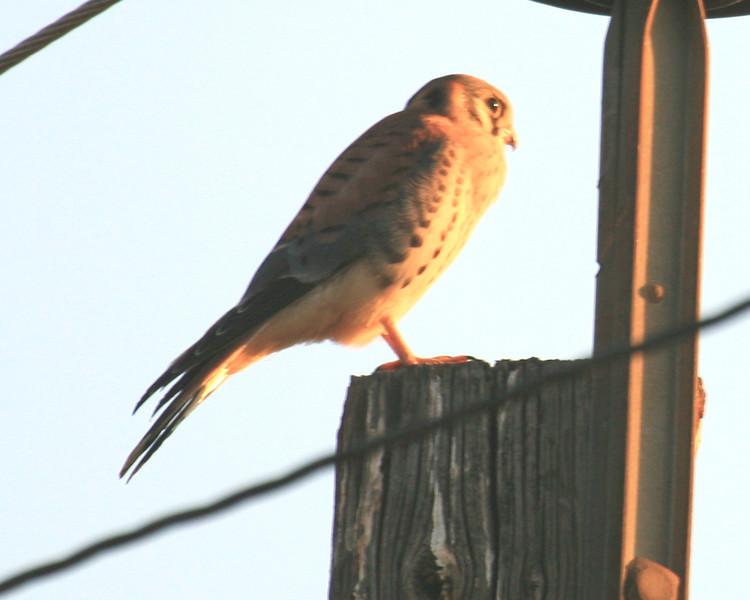 Sunset Kstrel