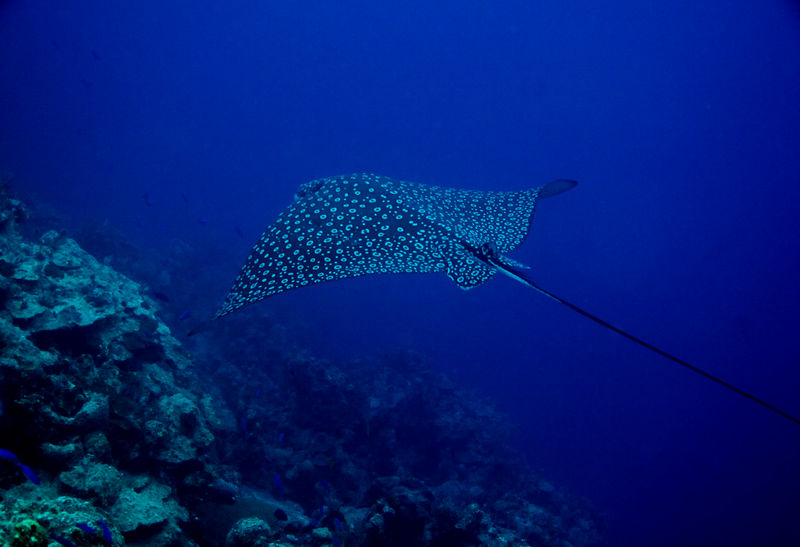Eagle Ray From the Deep