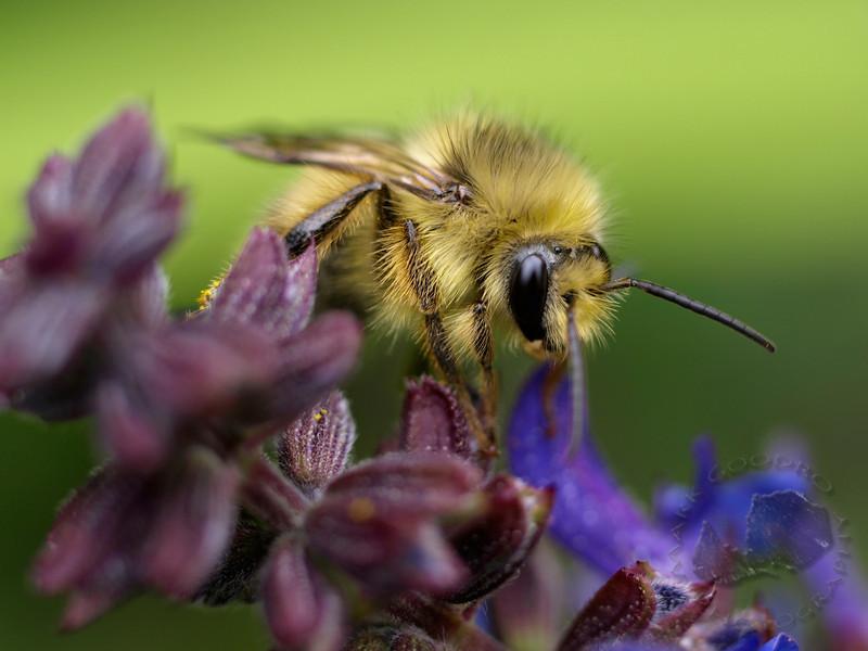 Bumblebee. Zuiko 50mm macro at f2.0.
