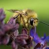 Bumblebee.<br /> Zuiko 50mm macro at f2.0.