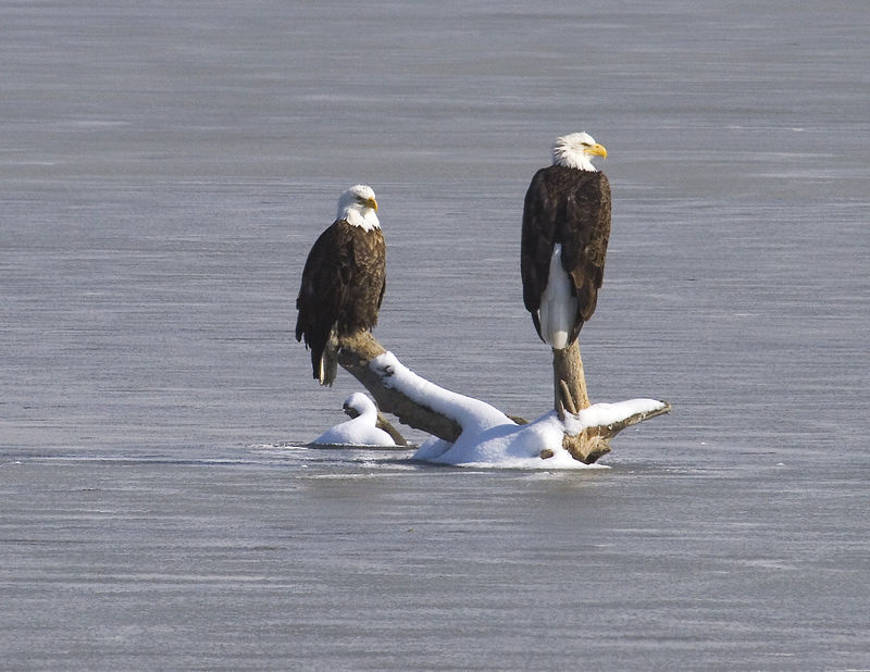 IMG_0245 jpg 2 EAGLES ON LOG 11X 8