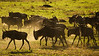 Dusty green Wildebeest
