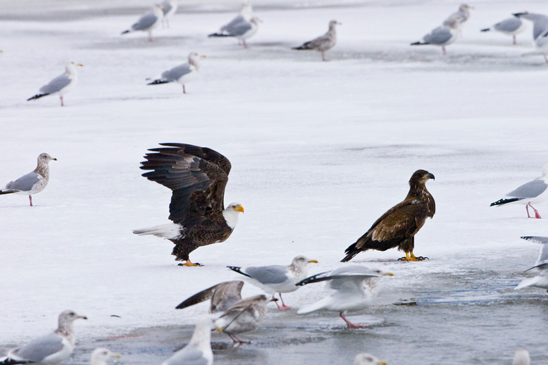 Bald Eagle & Juvenile On Ice
